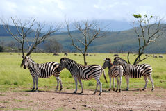 Burchell's zebra in savanna Royalty Free Stock Images
