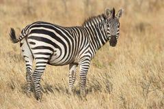 Burchell's Zebra. Zebra on the serengeti plains stock image