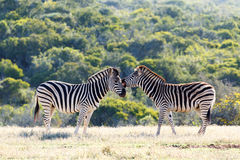 Burchell`s Zebra showing some affection Royalty Free Stock Photos