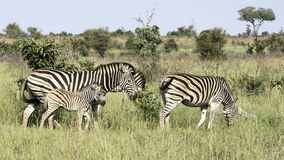 Burchell's zebra Royalty Free Stock Images