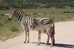 Burchell`s zebra South Africa Adoo National Park. Two Burchell`s zebra South Africa Adoo National Park Royalty Free Stock Images