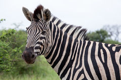 Burchell's Zebra Royalty Free Stock Photo
