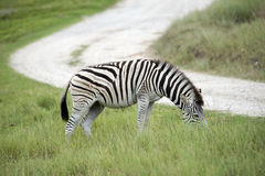 Burchell's zebra South Africa Royalty Free Stock Photo