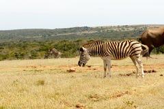 Burchell's Zebra Stock Images