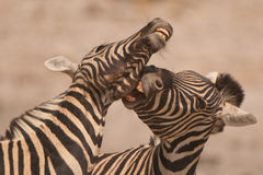Burchell's zebra stallions fighting. Stocky and horselike; black and white stripes with shadow stripes superimposed on white stripes; stripes extend on to under Royalty Free Stock Photography