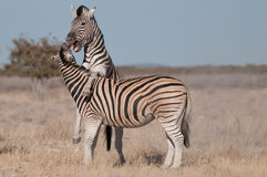 Burchell's zebra stallions fighting. Stocky and horselike; black and white stripes with shadow stripes superimposed on white stripes; stripes extend on to under Stock Photo