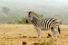 Burchell`s Zebra standing and waiting Stock Photos