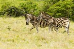Burchell's zebra walking through long dry grass Royalty Free Stock Photo