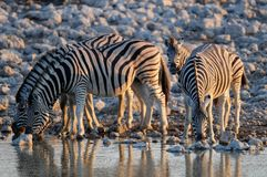 Burchell`s zebra on waterhole, etosha nationalpark, namibia, equus burchelli Stock Photos