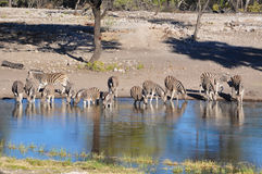 Burchell's zebra at watering hole in Namibia Africa Royalty Free Stock Photo