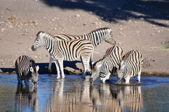 Burchell's zebra at watering hole in Namibia Africa Royalty Free Stock Image