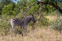Burchell-` s Zebrafohlen im wilden stockbild