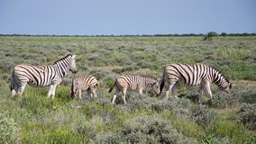 Burchell's Zebras Stock Photo