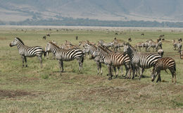 Burchell's zebras Stock Photography
