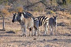 Burchell` s zebras Stock Foto's