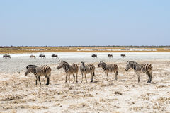 Burchell`s zebras and blue wildebeests in african grassveld near Batia waterhole in Etosha national park royalty free stock photography
