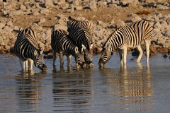 Burchell`s zebra on waterhole, etosha nationalpark, namibia, equus burchelli Royalty Free Stock Image