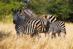 Burchell's Zebras (Equus burchellii) Royalty Free Stock Photography