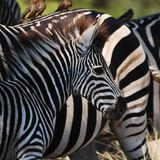 Burchell's Zebras (Equus burchellii) Royalty Free Stock Images