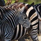 Burchell's Zebras (Equus burchellii) Royalty Free Stock Images