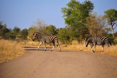 Burchell's Zebras (Equus burchellii). Crossing the gravel road (South Africa Stock Images