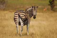 Burchell's Zebras (Equus burchellii). The Burchell's Zebra (Equus burchellii) is the most common type of zebrid mammal with a white\black coloring (South Africa Royalty Free Stock Photos