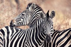 Burchell's Zebras (Equus burchellii). Burchell's Zebra (Equus burchellii) is the most common type of zebrid mammal with a whiteblack coloring (South Africa Royalty Free Stock Photos