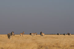 Burchell`s zebras in the grasslands, etosha nationalpark, namibia, equus burchelli Stock Image