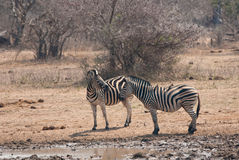 Burchells Zebras Royalty Free Stock Image