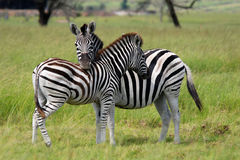 Burchell's zebras in love. Zebras are highly sociable animals,they congregate in herds from five to 30 in number Royalty Free Stock Photography