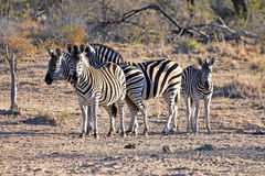 Burchell`s zebras Stock Photos