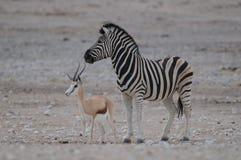 Burchell`s zebra and sprinbock, etosha nationalpark, namibia Royalty Free Stock Photography