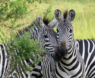 Burchell's Zebras stand together on the plains of Uganda Royalty Free Stock Photo