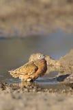 Burchell Sandgrouse stoi w wodzie Obrazy Royalty Free