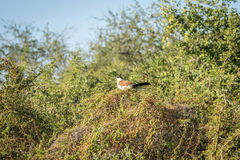 Burchell's coucal in a tree. Royalty Free Stock Photo