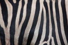Burchell& x27; s zebra & x28; Equusquagga burchellii& x29; De textuur van de huid Stock Fotografie