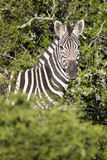 Burchell zebra Royalty Free Stock Image