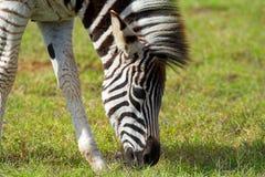 Burchell Zebra Royalty Free Stock Photos