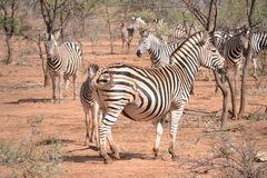 Burchell Zebra Royalty Free Stock Photography