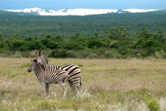 Burchell Zebra Royalty Free Stock Photo
