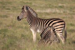 burchell zebra Obrazy Royalty Free