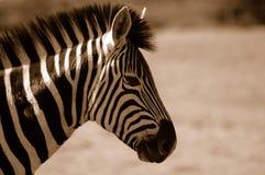 burchell zebra Arkivfoton