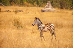 Burchell zebra Obraz Royalty Free