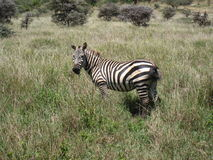 Burchell Zebra. Built like a stocky pony its stripes vary in width and number to help confuse predators, especially in the evening. Lewa Wildlife Conservancy in Stock Image