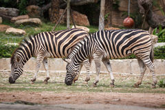 Burchell Zebra Stockbild