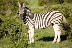 Burchell zebra Stock Images