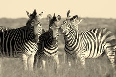 Burchell Zebra in Addo Royalty Free Stock Photography