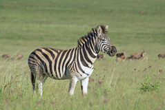 Burchell zebra on african grass plains. Burchell zebra with antelope in background stock photography