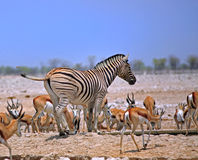 A burchell zebra amongst a herd of spring bok Stock Photography