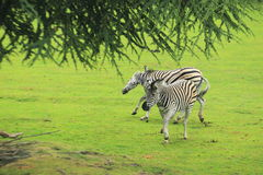 Burchell zebra Stock Photos